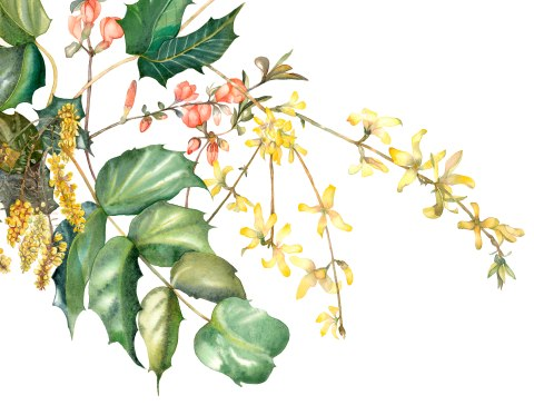 Forsythia, Quince, Oregon Grape Holly