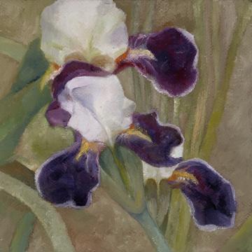 Bearded Iris 72ppi